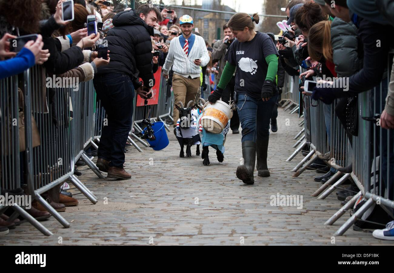 London, UK. 31 March 2013. Goat's Bella and Barney take part in the fifth annual Oxford and Cambridge 'Goat - Stock Image