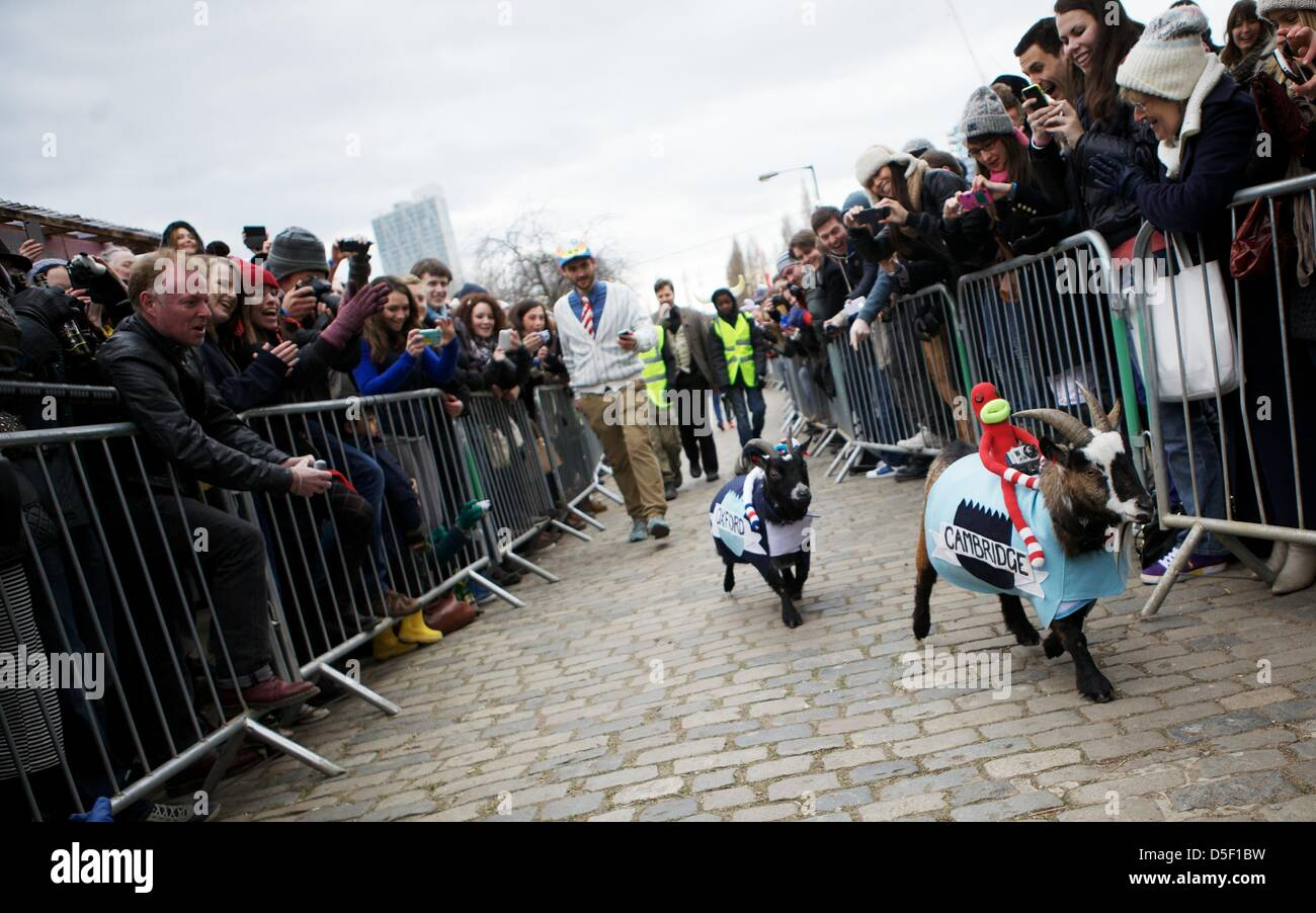 London, UK. 31 March 2013. Goat's Bella (left) and Barney take part in the fifth annual Oxford and Cambridge - Stock Image