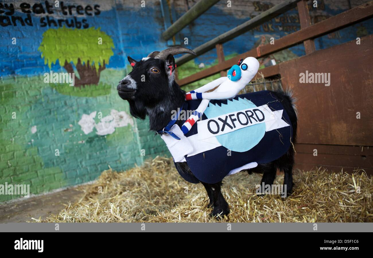 London, UK. 31 March 2013. Bella, representing Oxford, poses for photographers after losing to Barney at the fifth - Stock Image