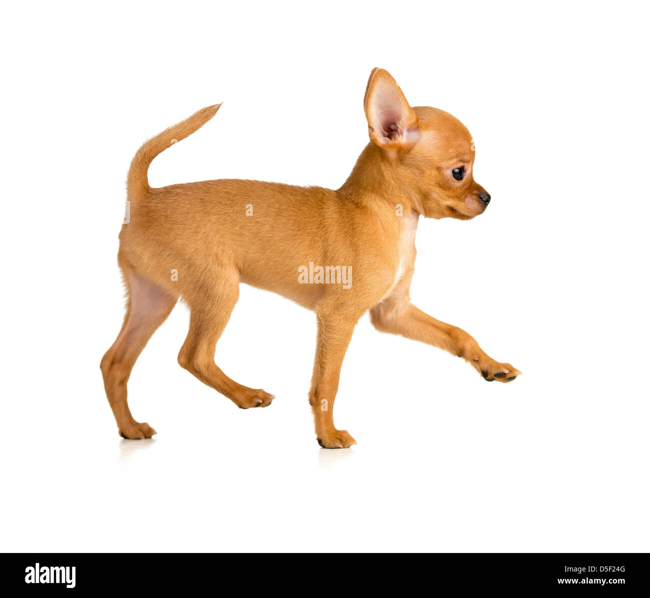 running toy terrier puppy profile - Stock Image