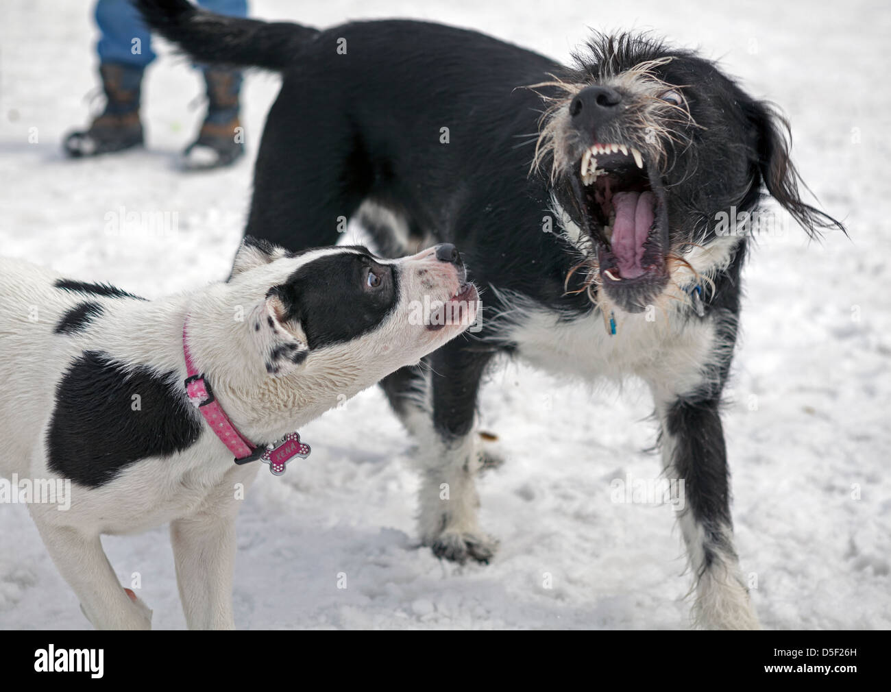 Dogs play in a fenced in area at a local dog park in Minneapolis. - Stock Image