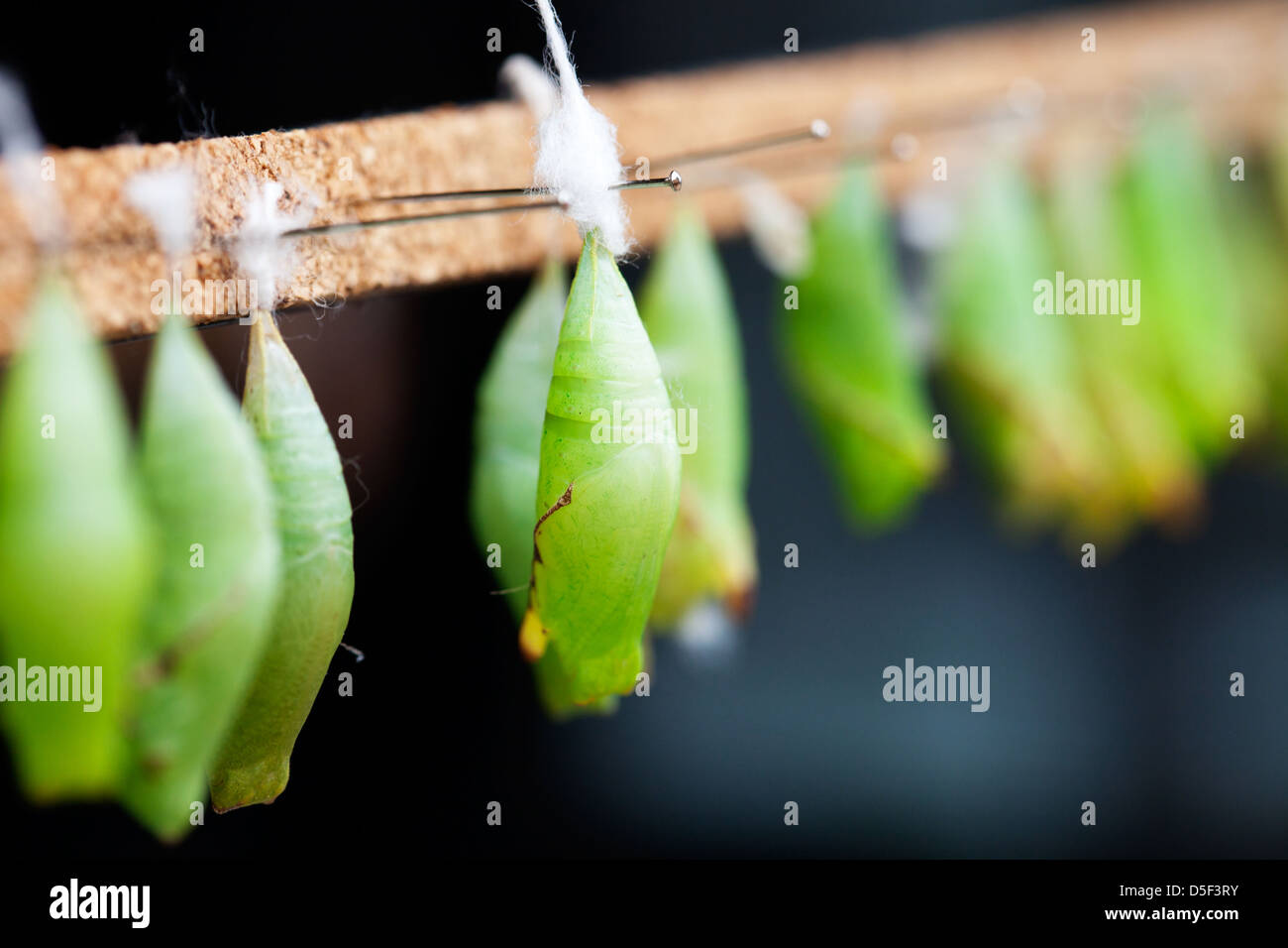 The pupal stage of beautiful butterfly, selective focus - Stock Image