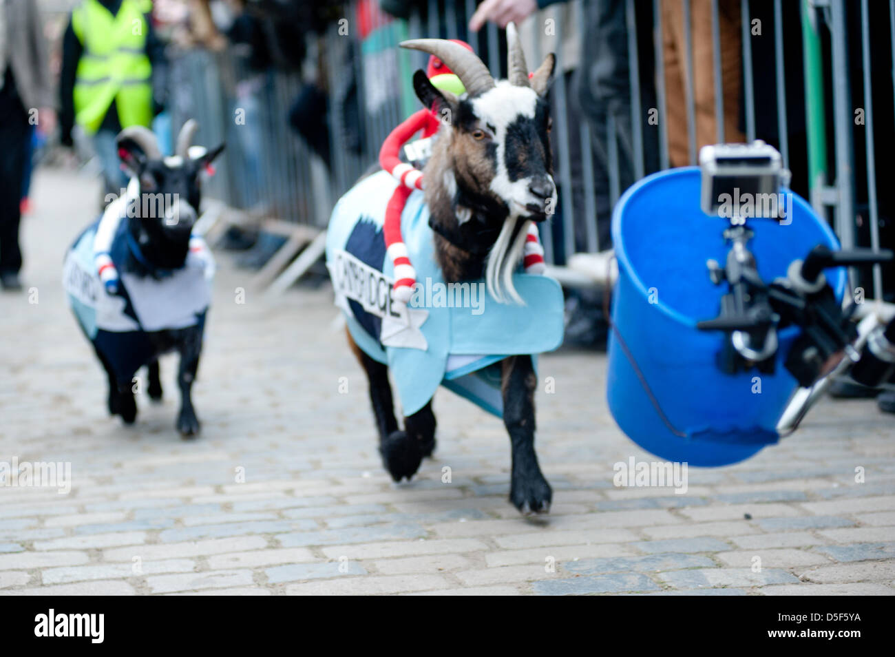 London, UK - 31 March 2013: Cambridge and Oxford Goats follow food during the the 5th Annual Oxford and Cambridge - Stock Image