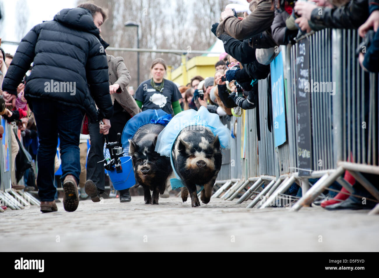 London, UK - 31 March 2013: pigs race during the 5th Annual Oxford and Cambridge Goat Race that takes place at Spitalfields - Stock Image