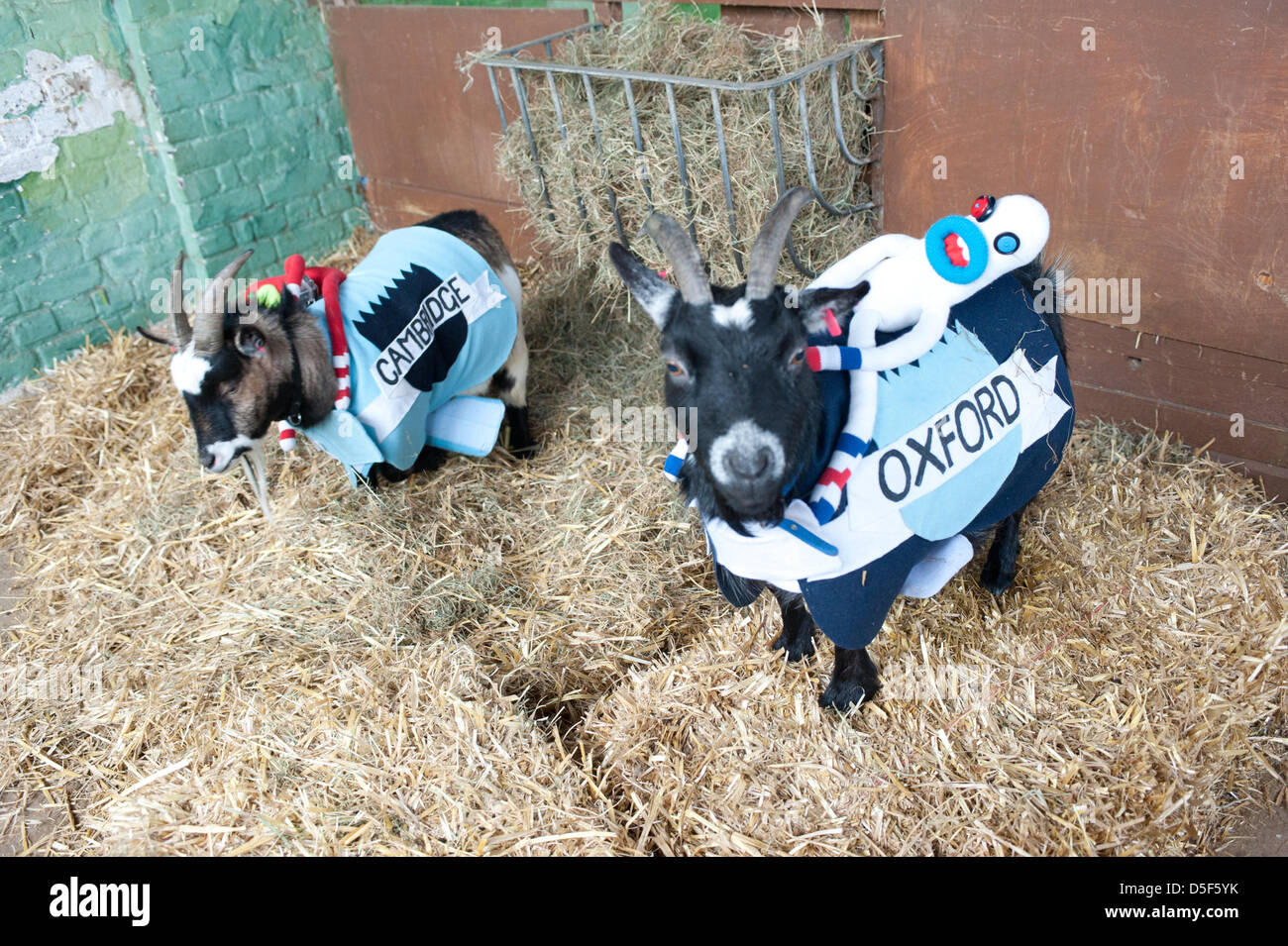 London, UK - 31 March 2013: The 5th Annual Oxford and Cambridge Goat Race takes place at Spitalfields City Farm. - Stock Image