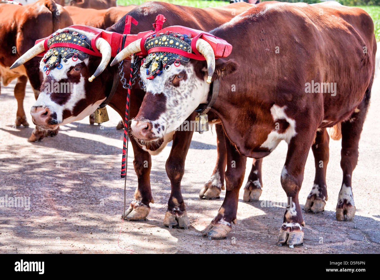 Team of oxen with a traditional decorated yoke. - Stock Image