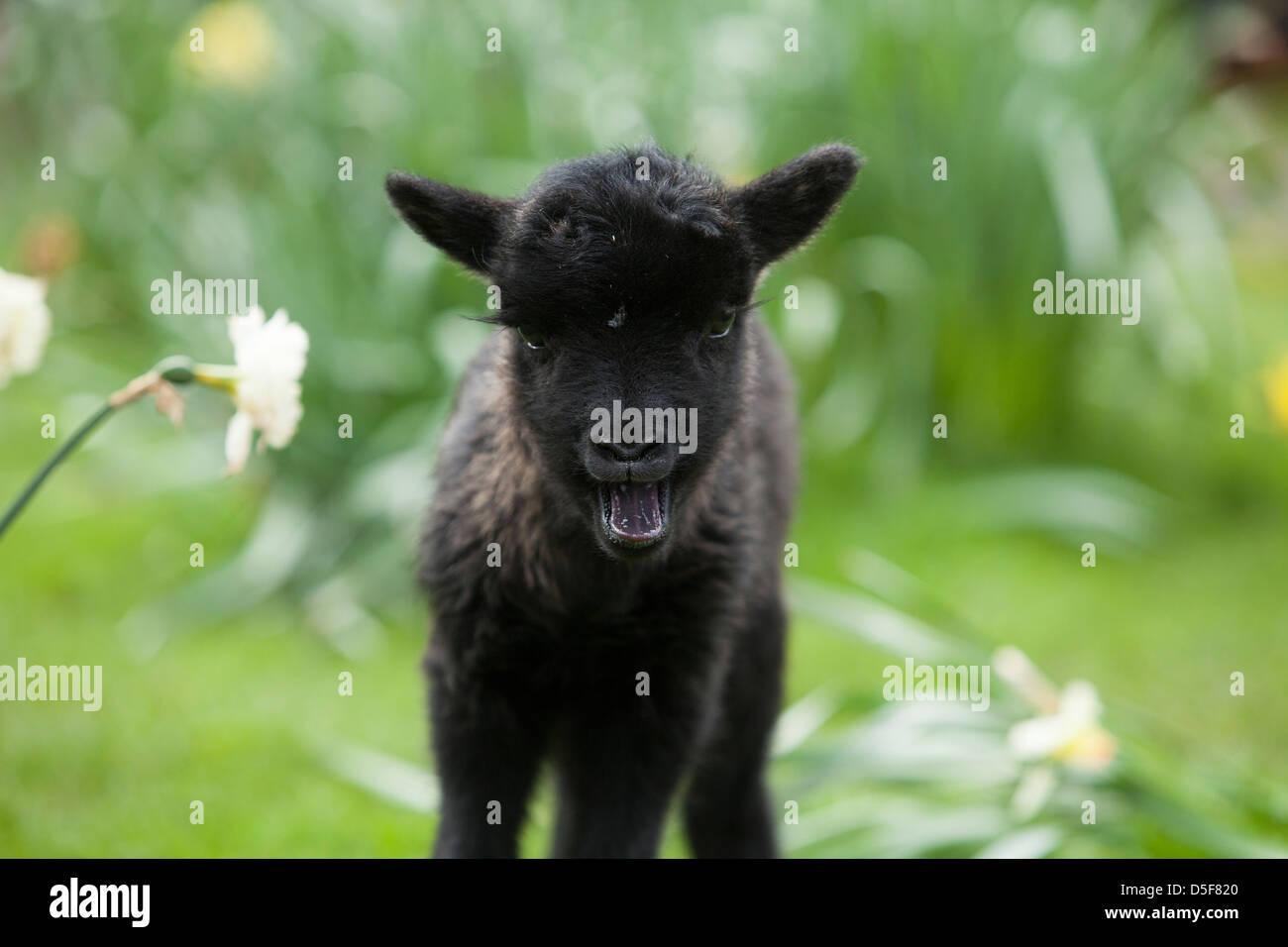 Hebridean lamb in Spring - Stock Image