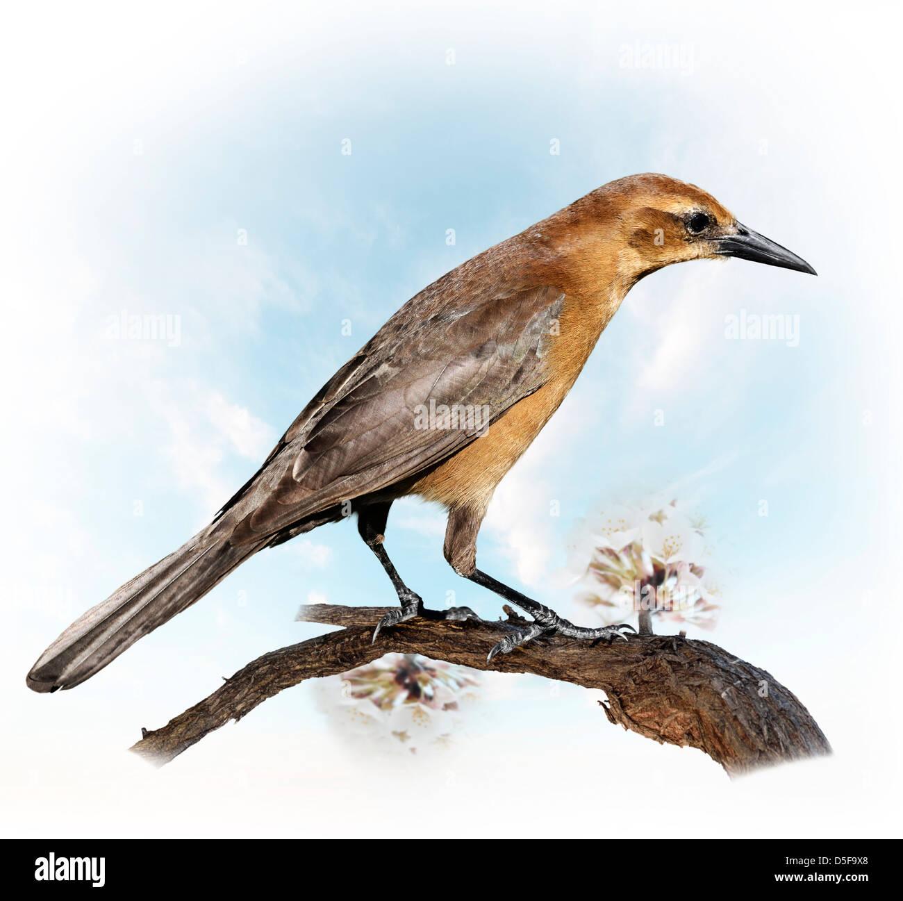 A Bird Perching On A Apple Branch (female blackbird (turdus merula) - Stock Image