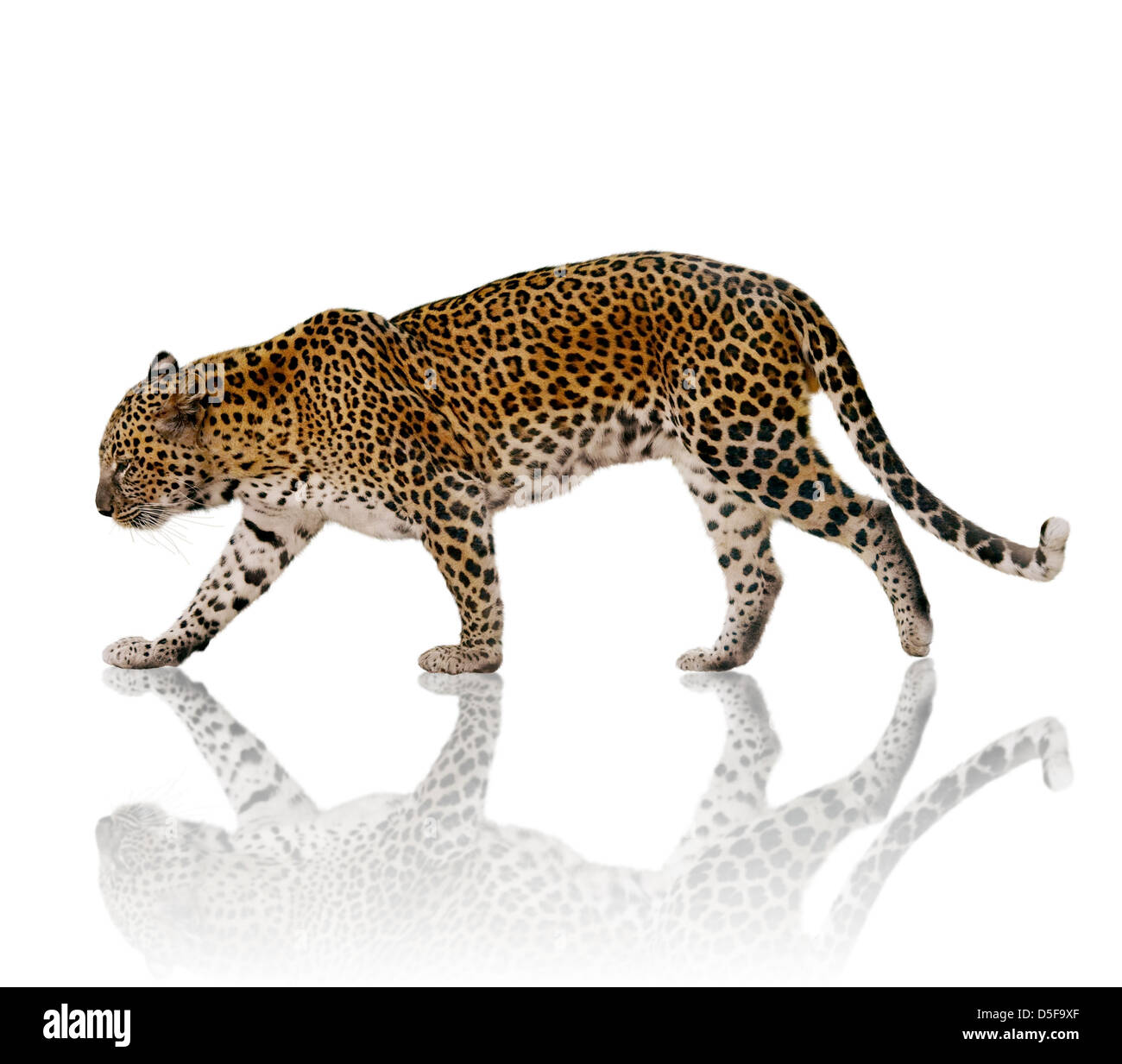 A Male Leopard Against A White Background - Stock Image