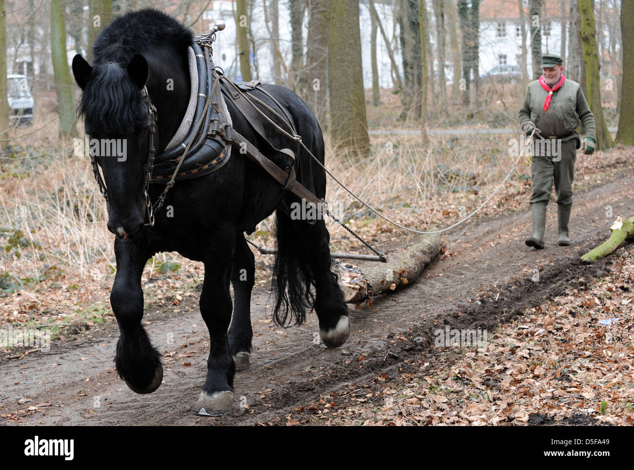 Hans Wilhelm Meier and his French Percheron stallion Medoc pull logs from the municipal forest Eilenriede in Hanover, Stock Photo