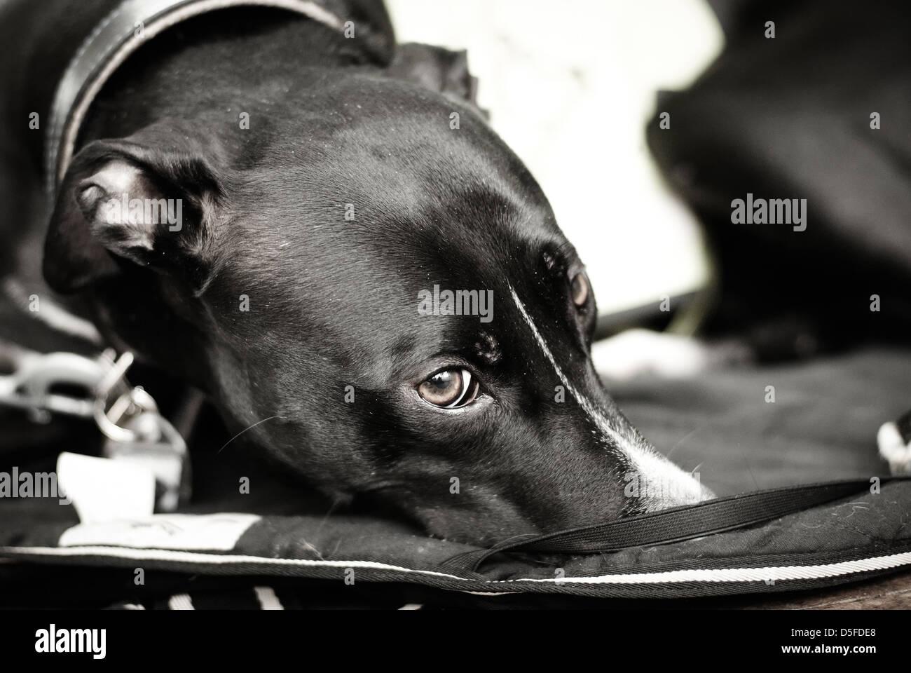 Racing Greyhound Stock Photos & Racing Greyhound Stock ...