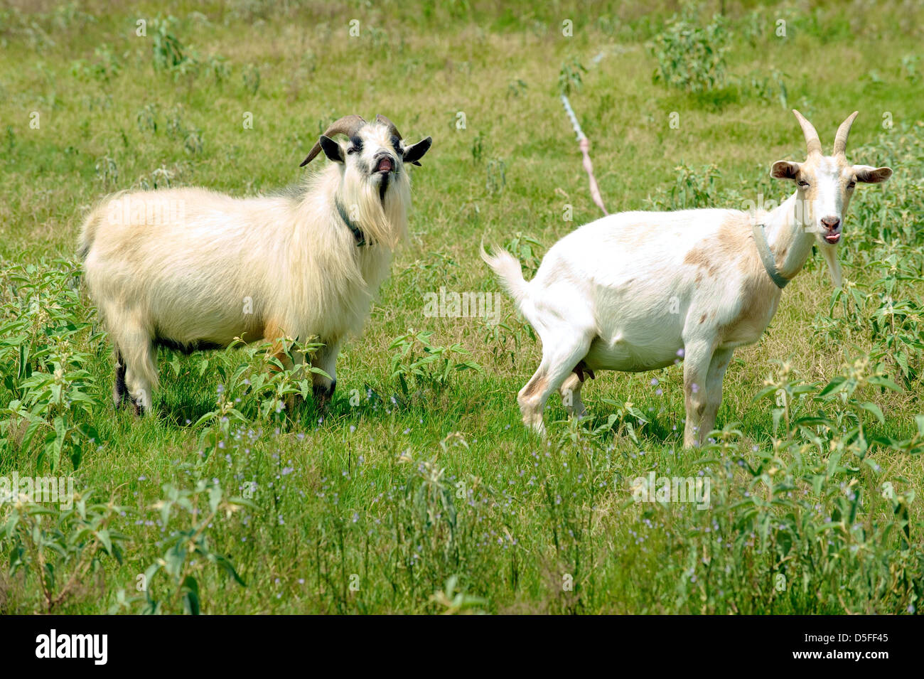 A billy and a nanny goat in a comedy stance on green pasture, near Bryan College Station, Texas, US - Stock Image