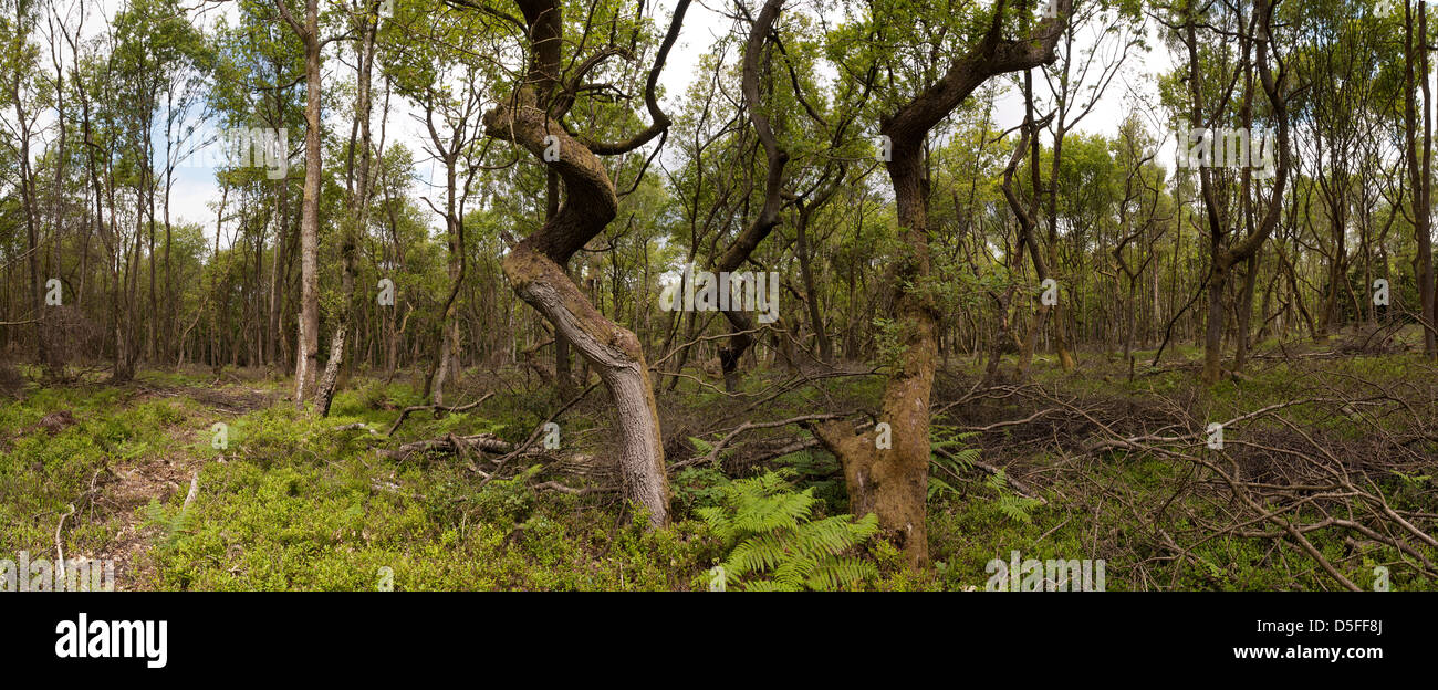 panoramic view new growth of deciduous oak woodland on heath with fern and bilberry covering that contrast with - Stock Image