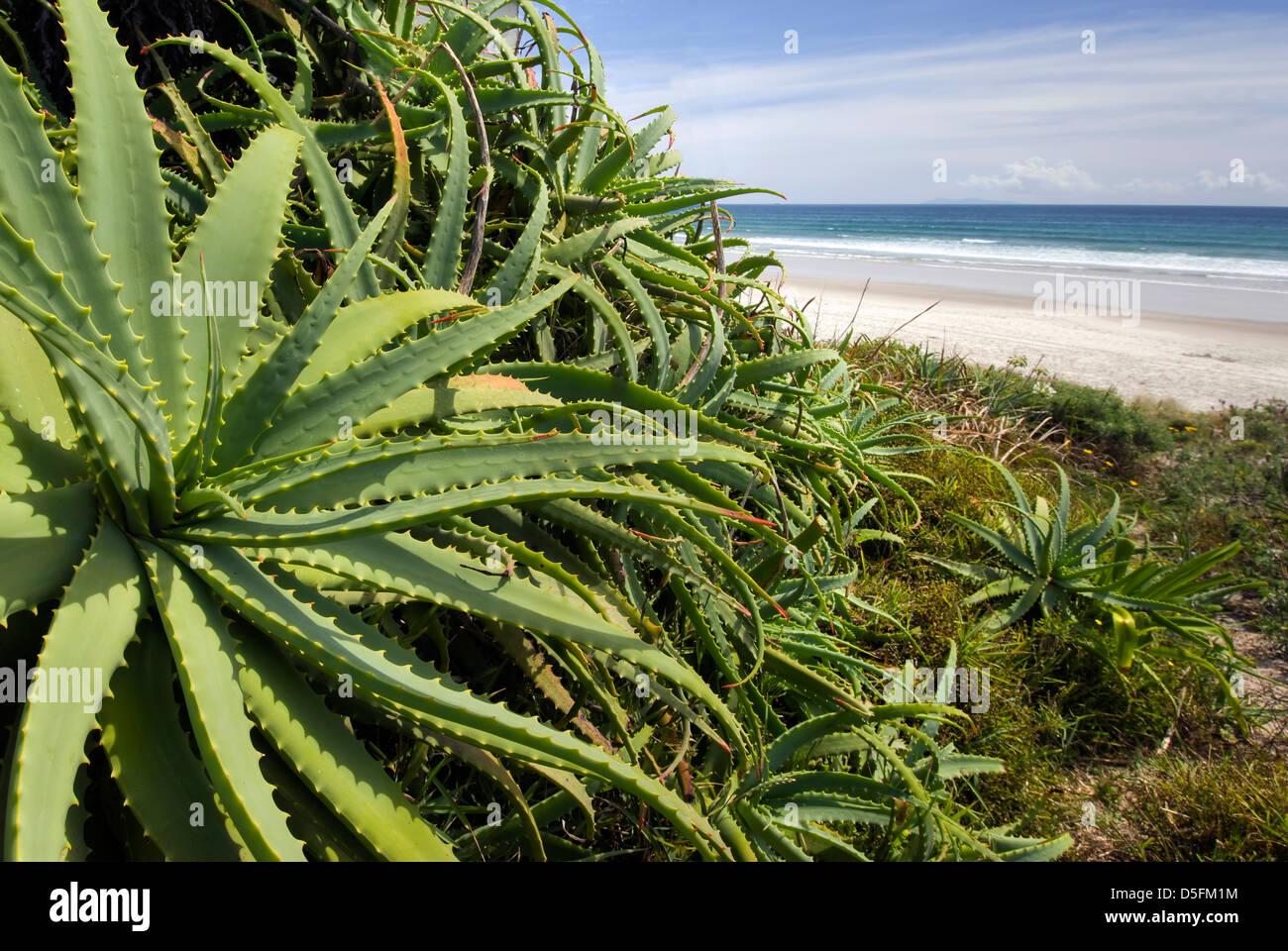Wild Aloe Vera plant at the beach, North Island, New Zealand Stock Photo