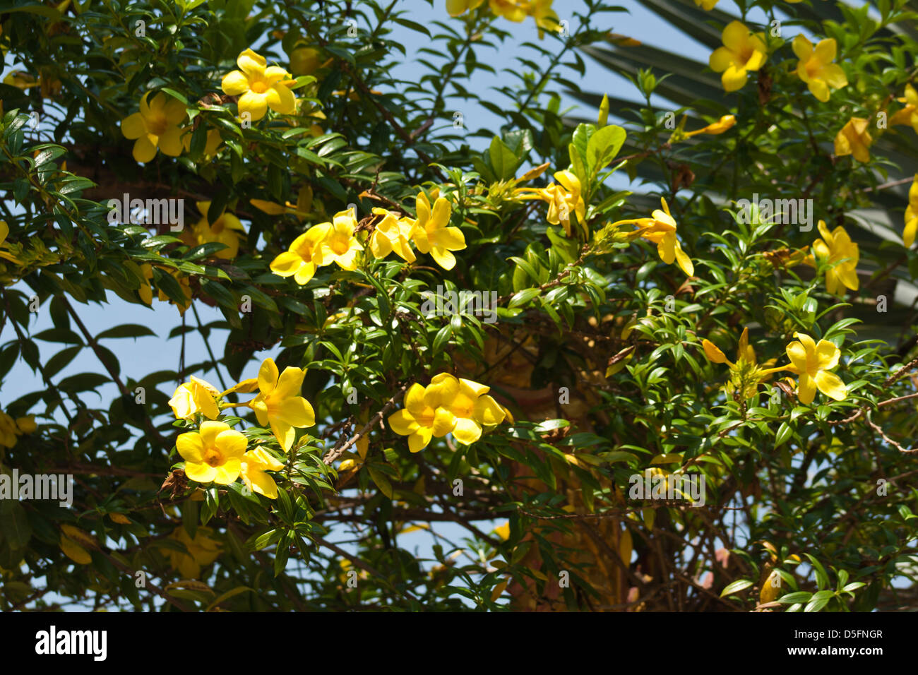 Yellow bell flowers stock photos yellow bell flowers stock images allamanda cathartica yellow bell stock image mightylinksfo