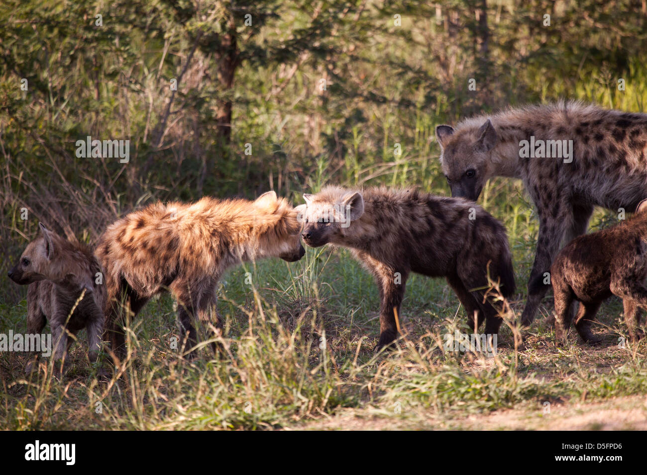 Cubs fighting - Stock Image