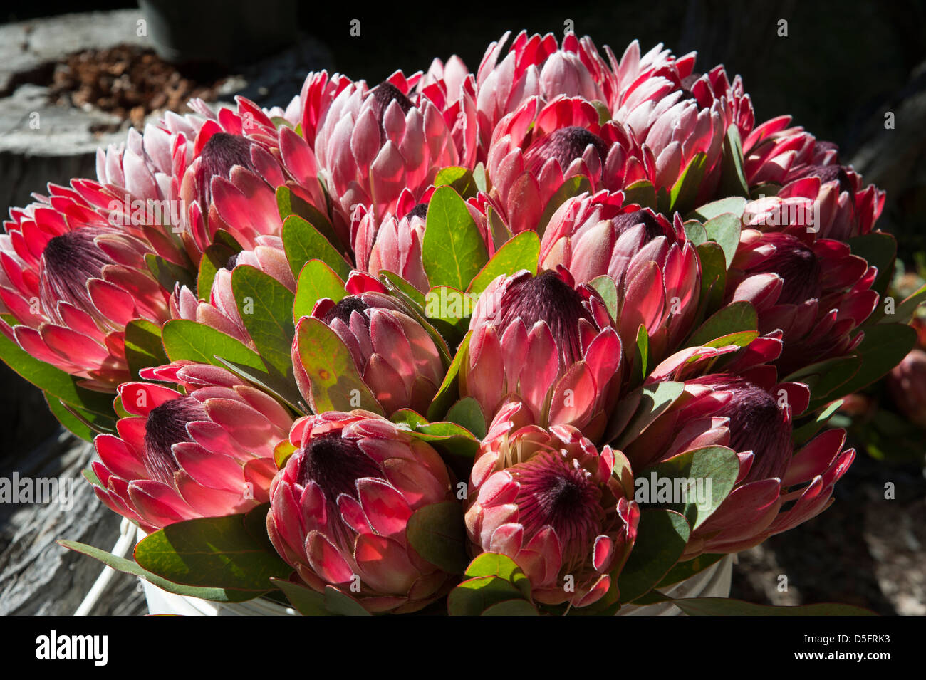 the south african national flower stock photos the south african