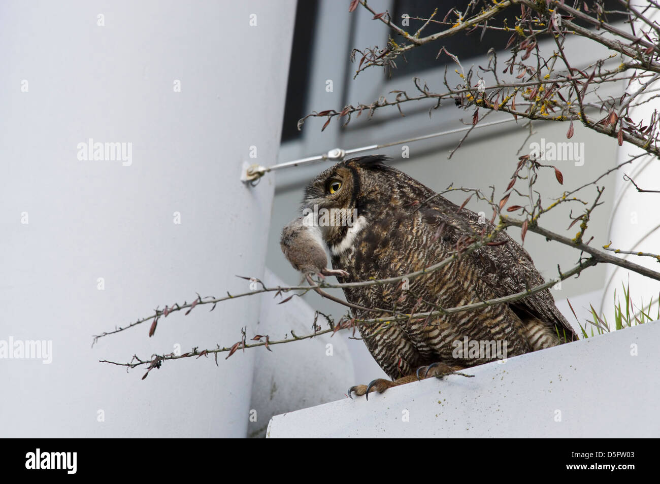 Great horned owl with rat in beak perched on edge of planter box in Canadian government office building-Victoria, - Stock Image