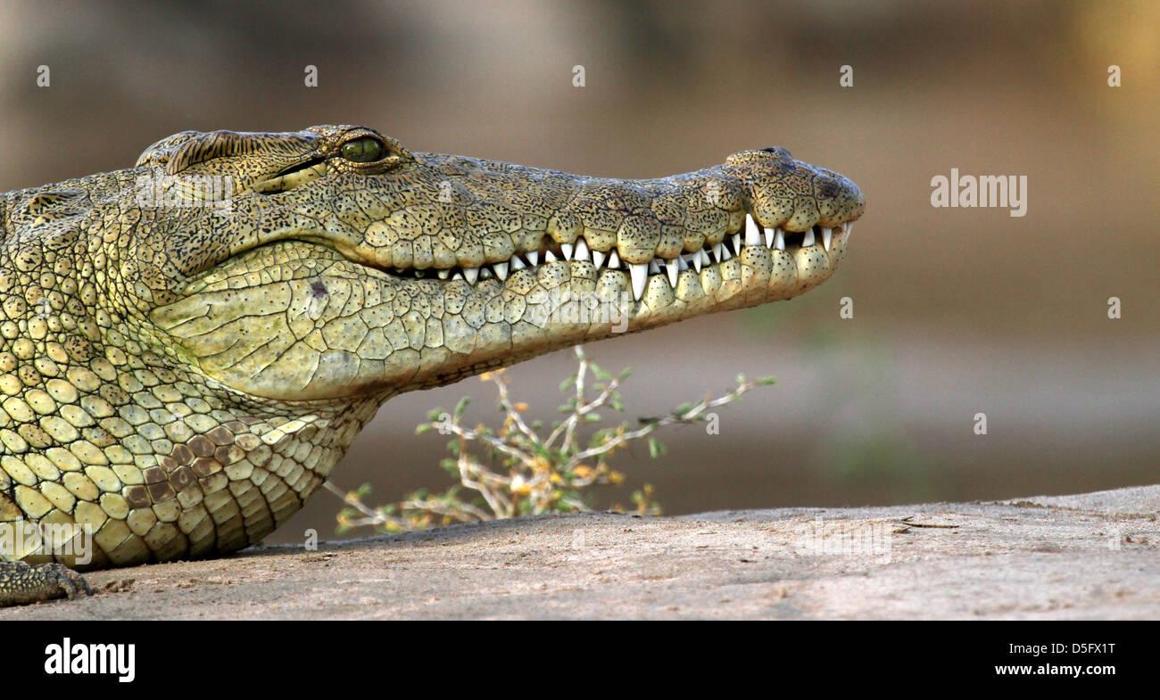 Croc on the Kunene River - Stock Image