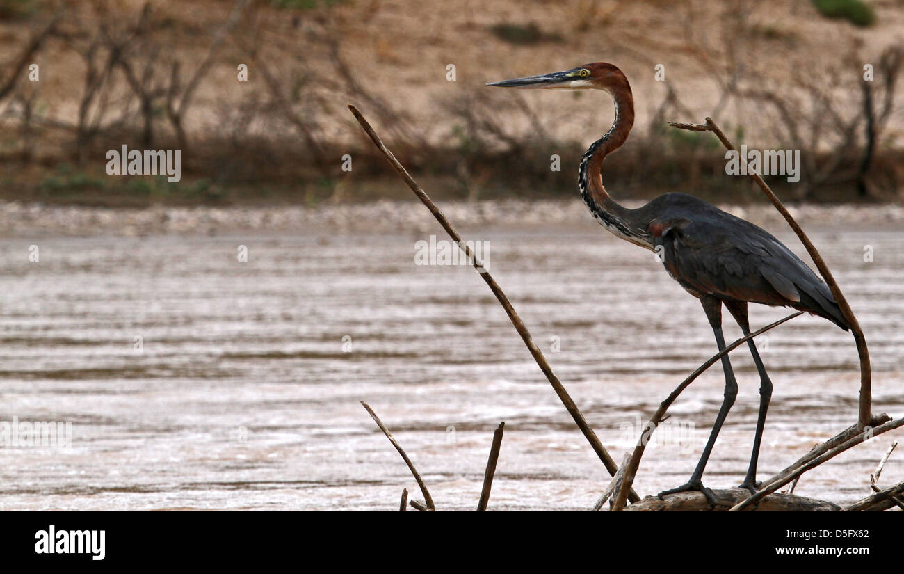 Goliath Heron on the Kunene River - Stock Image