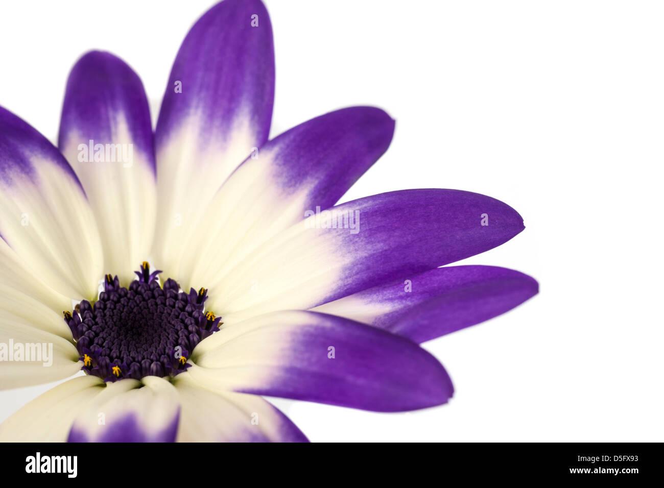 Close Up of a Blue Bicolour Sennetti Pericallis Hybrid Flower on a White Background. Stock Photo