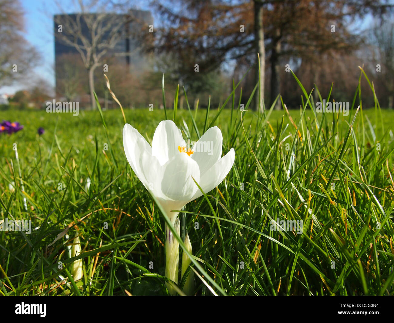 An early spring crocus flower amongst the grass in an urban park with a high rise building in the background - Stock Image