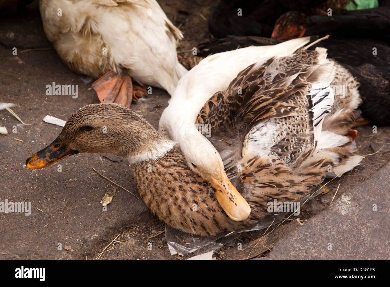 Selling Ducks Stock Photos & Selling Ducks Stock Images - Alamy