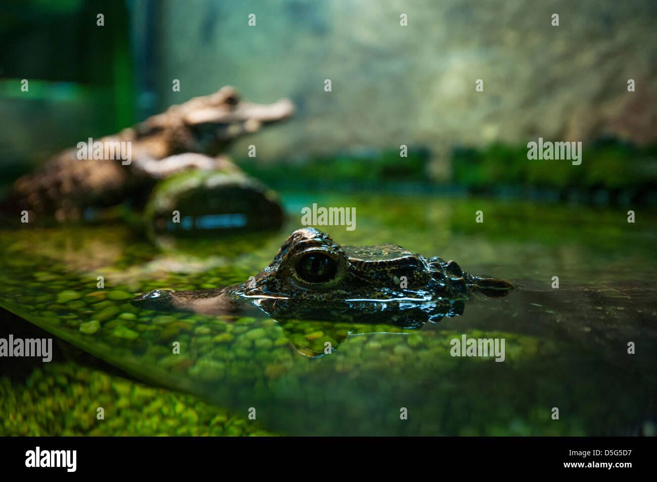 Captive alligators / crocodiles - Stock Image
