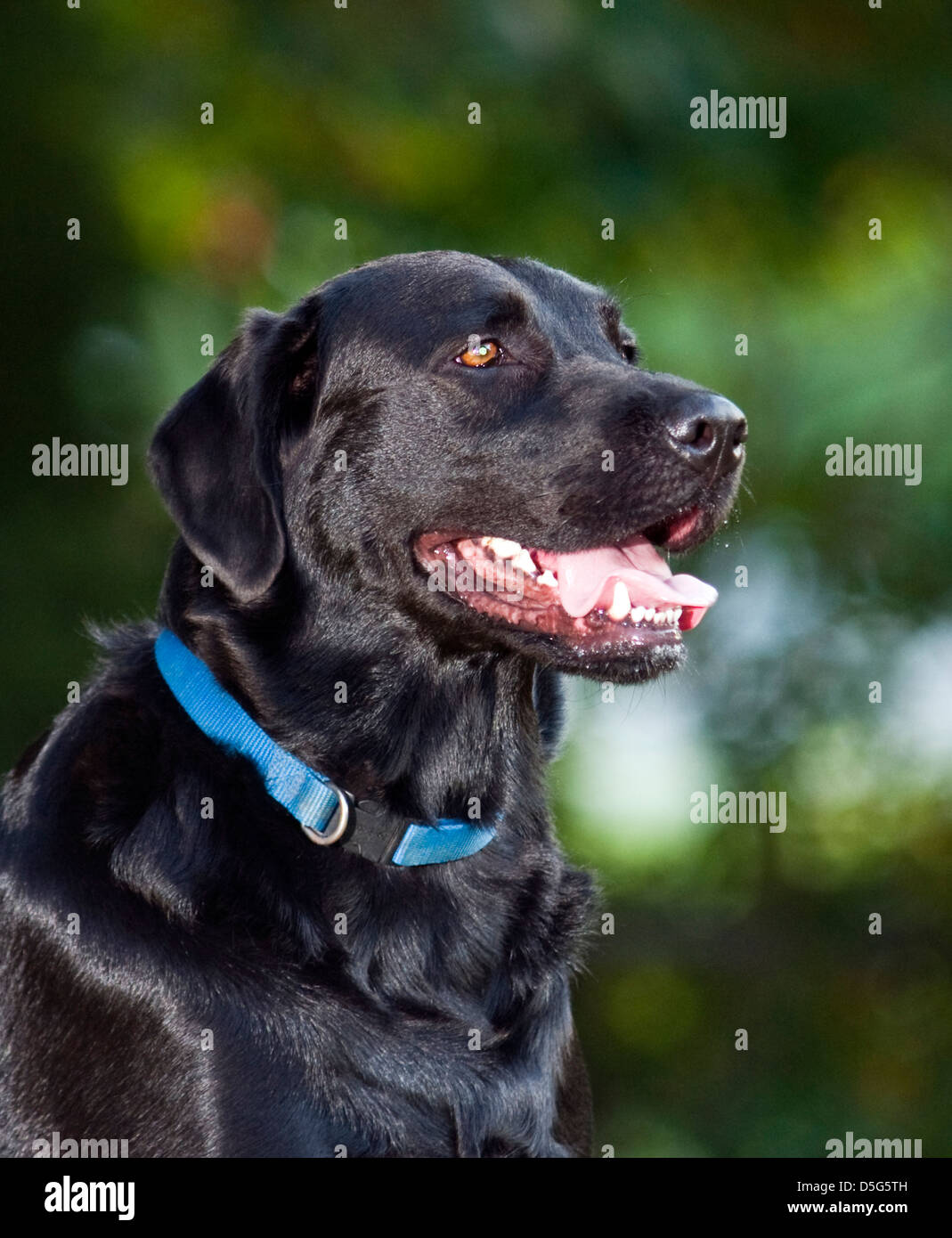 Adult male black Labrador Retriever in late afternoon sun (Canis lupus familiaris) - Stock Image