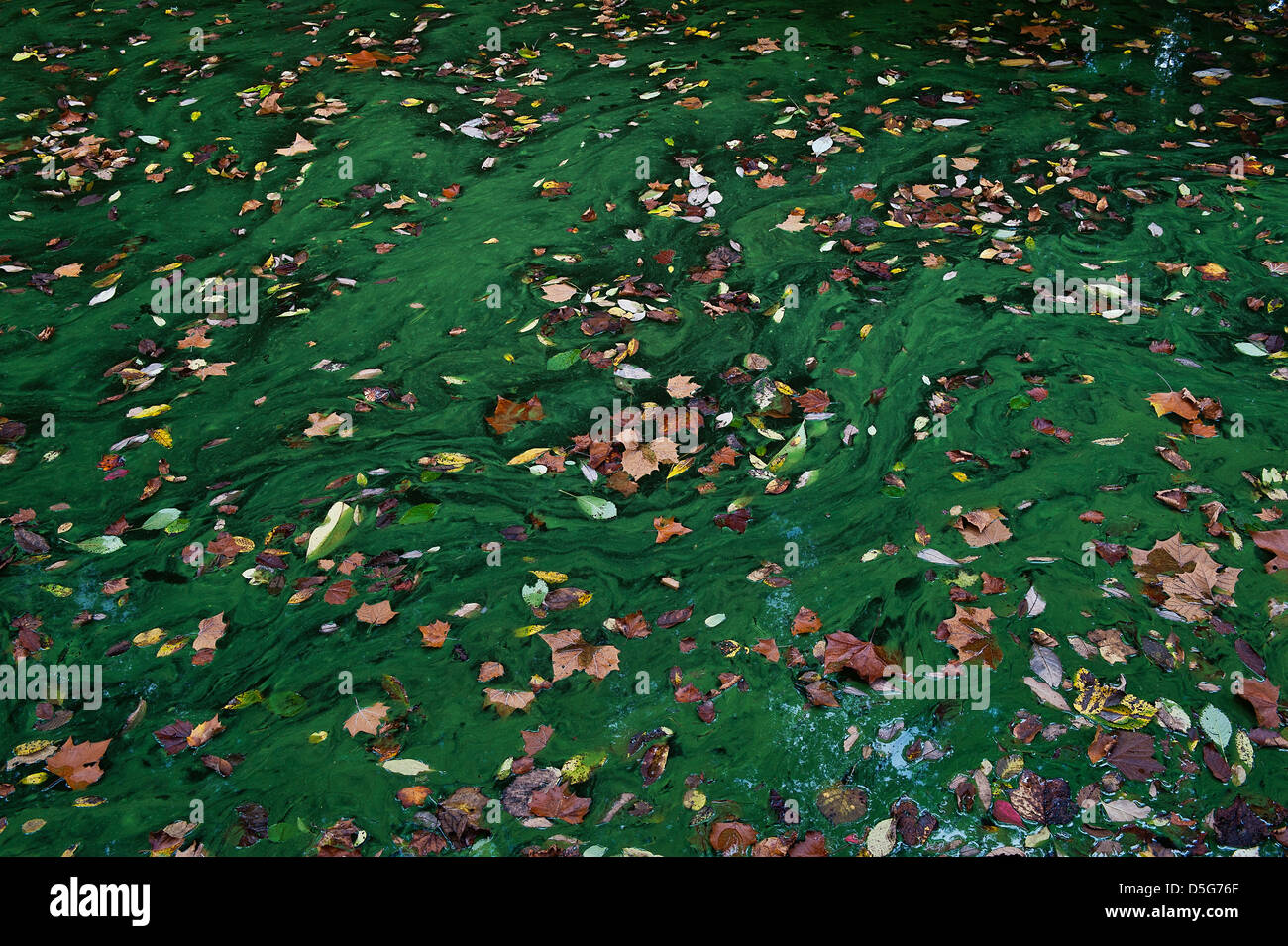 Autumn leaves in a stagnant pool of green algae. Stock Photo