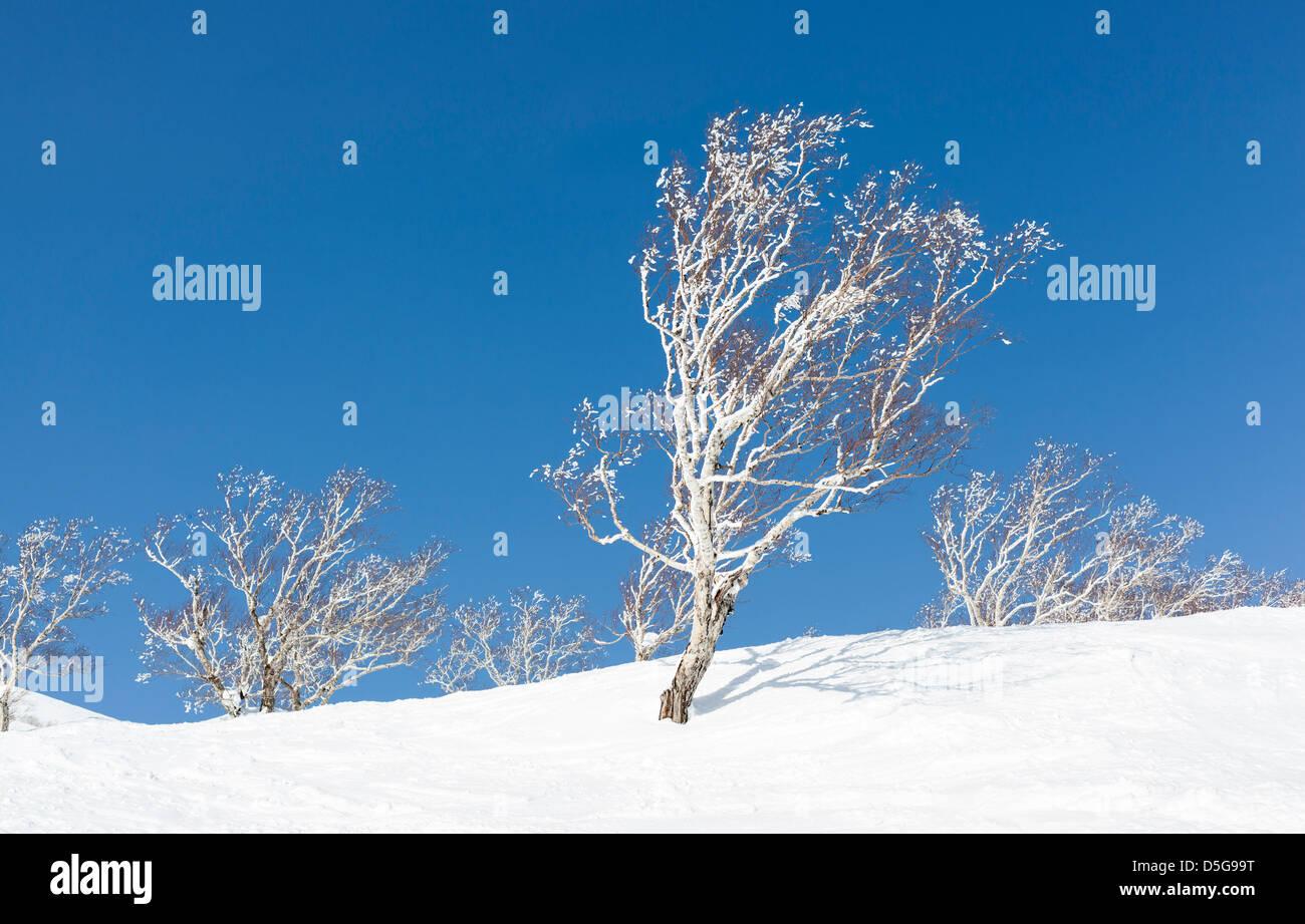 Silver birch trees covered in snow and frost. - Stock Image