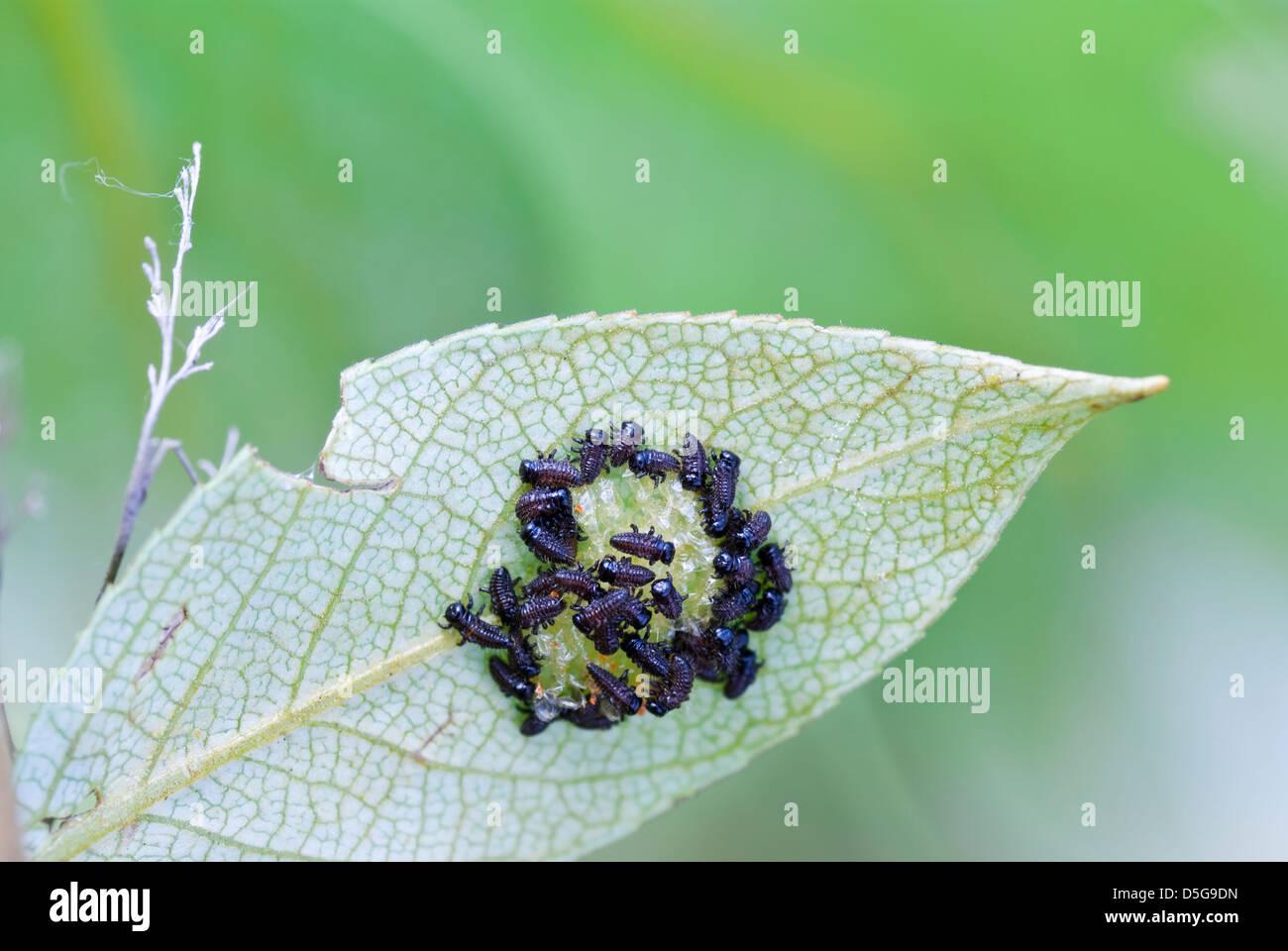 hatch with egg of little larva on leaf - Stock Image