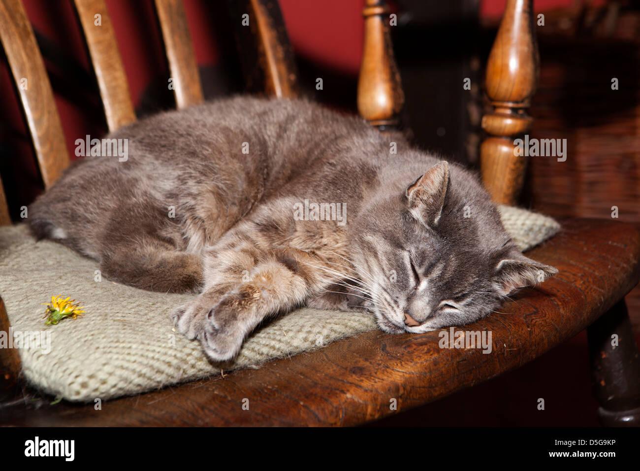 Isle of Man, Cregneash, Manx Heritage village folk museum, Manx cat asleep on chair - Stock Image