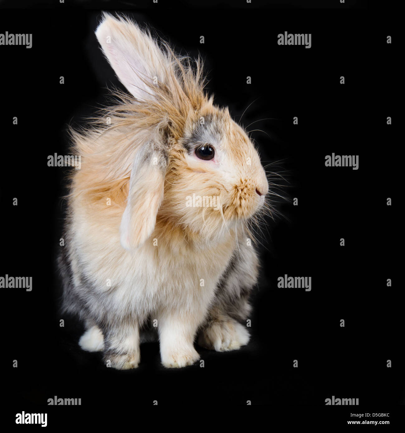 Light brown lop ear bunny on black background - Stock Image