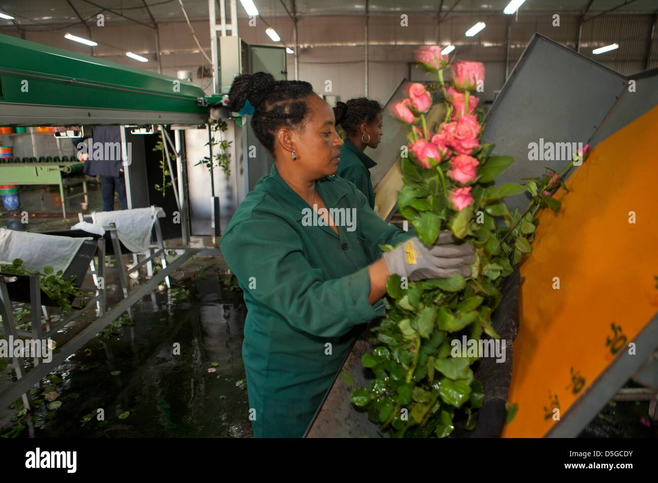 Ethiopian flowerr farm - Stock Image