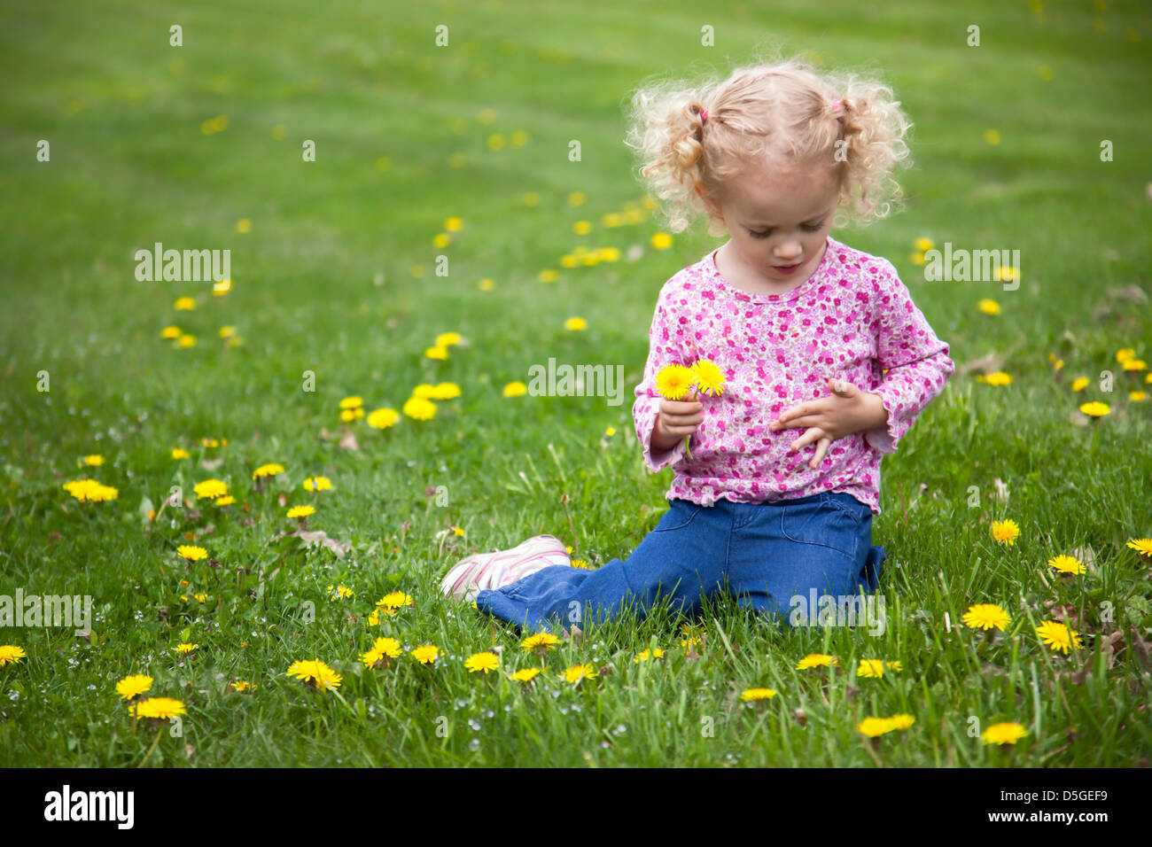 Curly-headed, blond, toddler sitting on lawn picking dandelions. - Stock Image