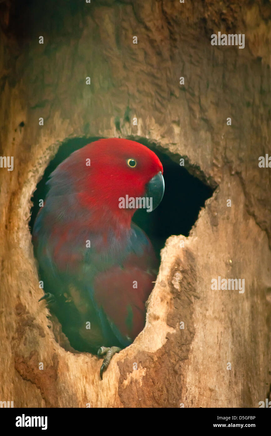closeup of electus parrots bird. - Stock Image