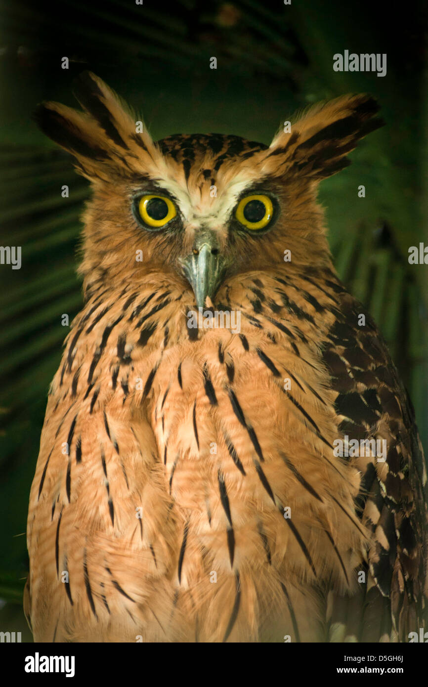 Manage to shoot thru the fences to catch this beautiful buffy/malay fish owl. - Stock Image