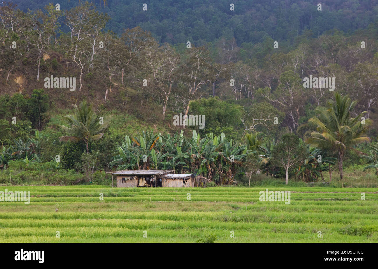 An evening view of a padi field in a rainforest in Timor Leste Stock Photo