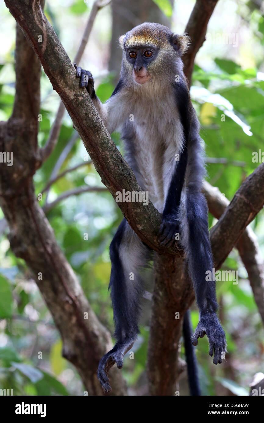 sacred Mona monkeys of the Boabeng Fema Monkey Sanctuary, Ghana - Stock Image