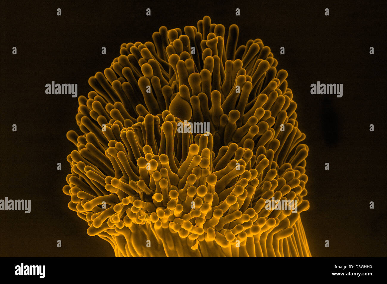 Stigma of African violet (saintpaulia) flower, scanning electron microscopy - Stock Image