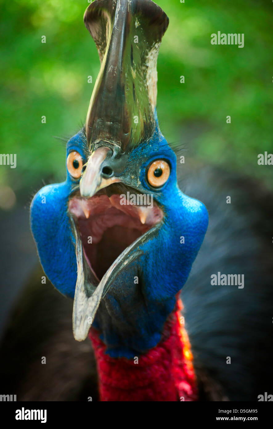 Images of Australian cassowary look into the camera angry face. - Stock Image