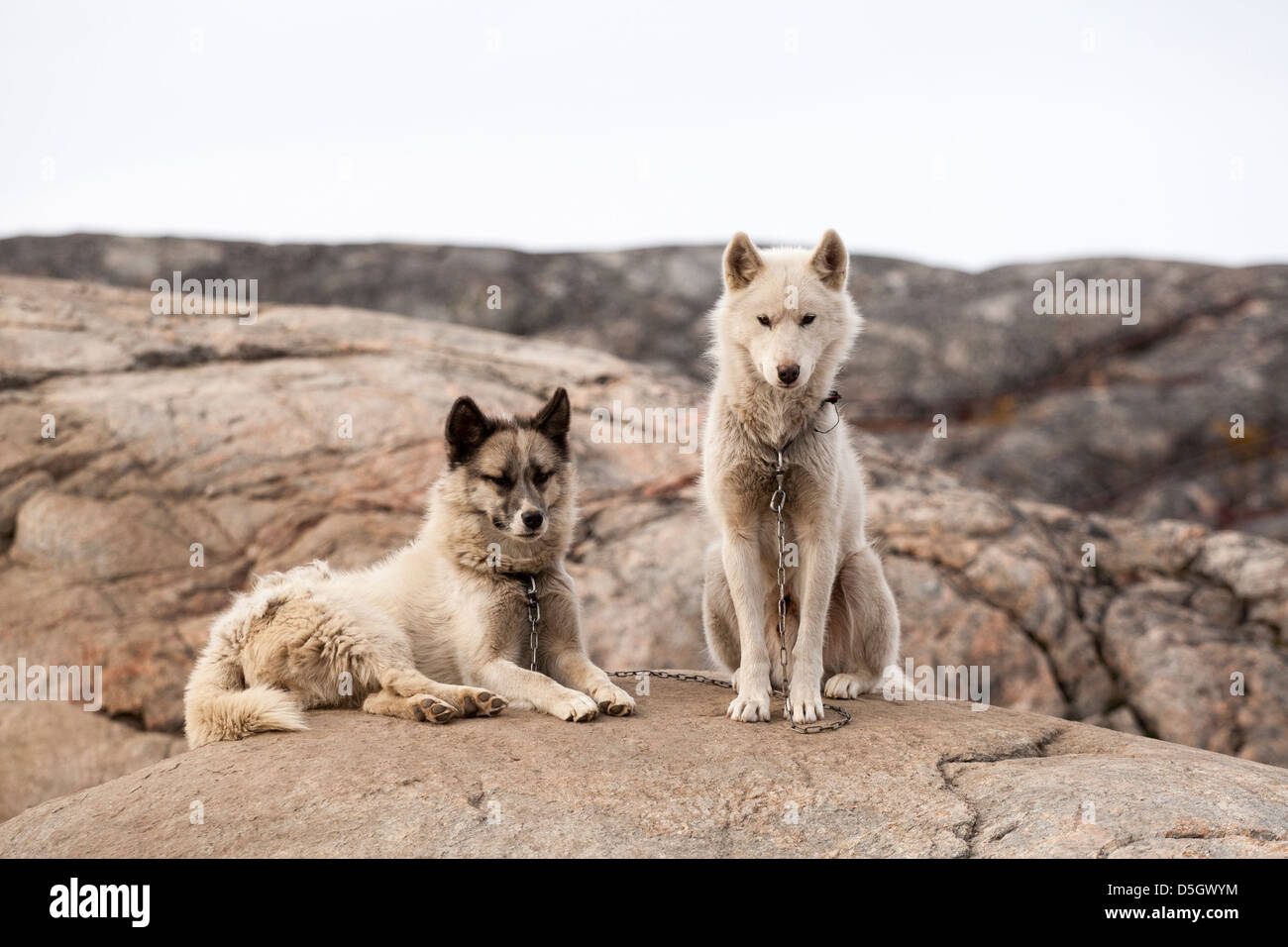 Two Greenland husky dogs chained to rock during summer months, Ilulissat (Jakobshavn), Greenland - Stock Image