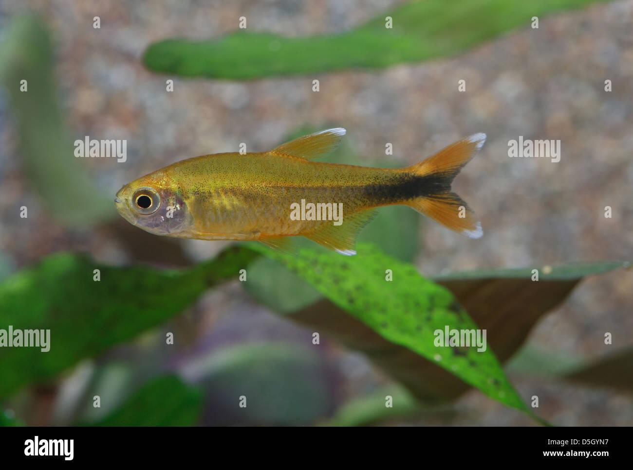 Silvertip Tetra in aquarium - Stock Image