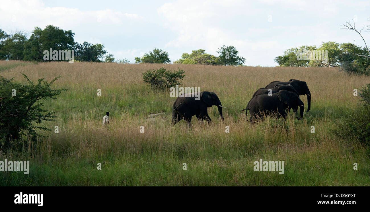 Four elephants and their mahout walking in the African bush. - Stock Image
