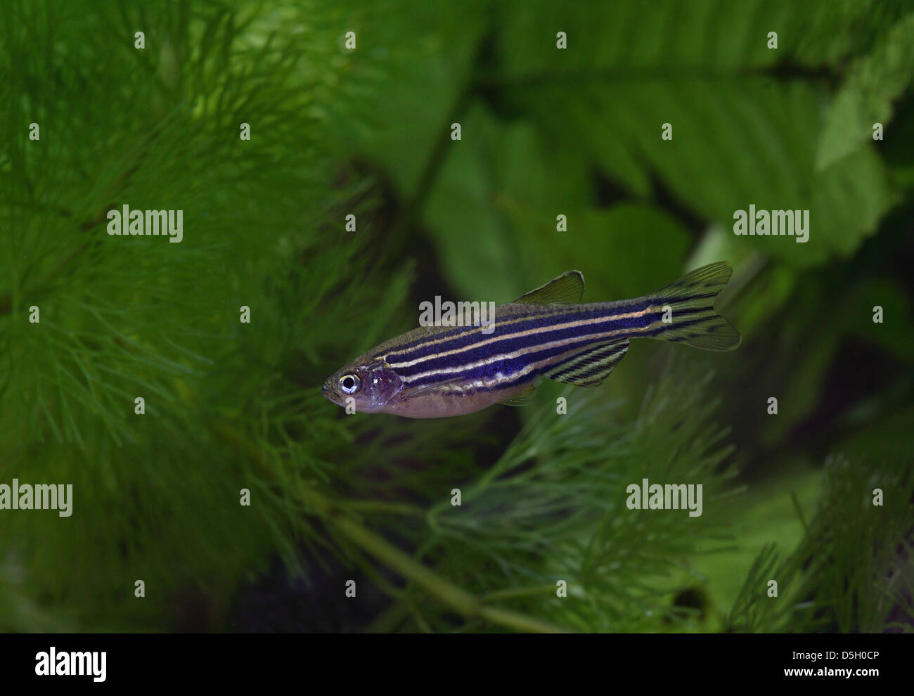 Zebra Danio [ Brachydanio rerio ] in aquarium Stock Photo
