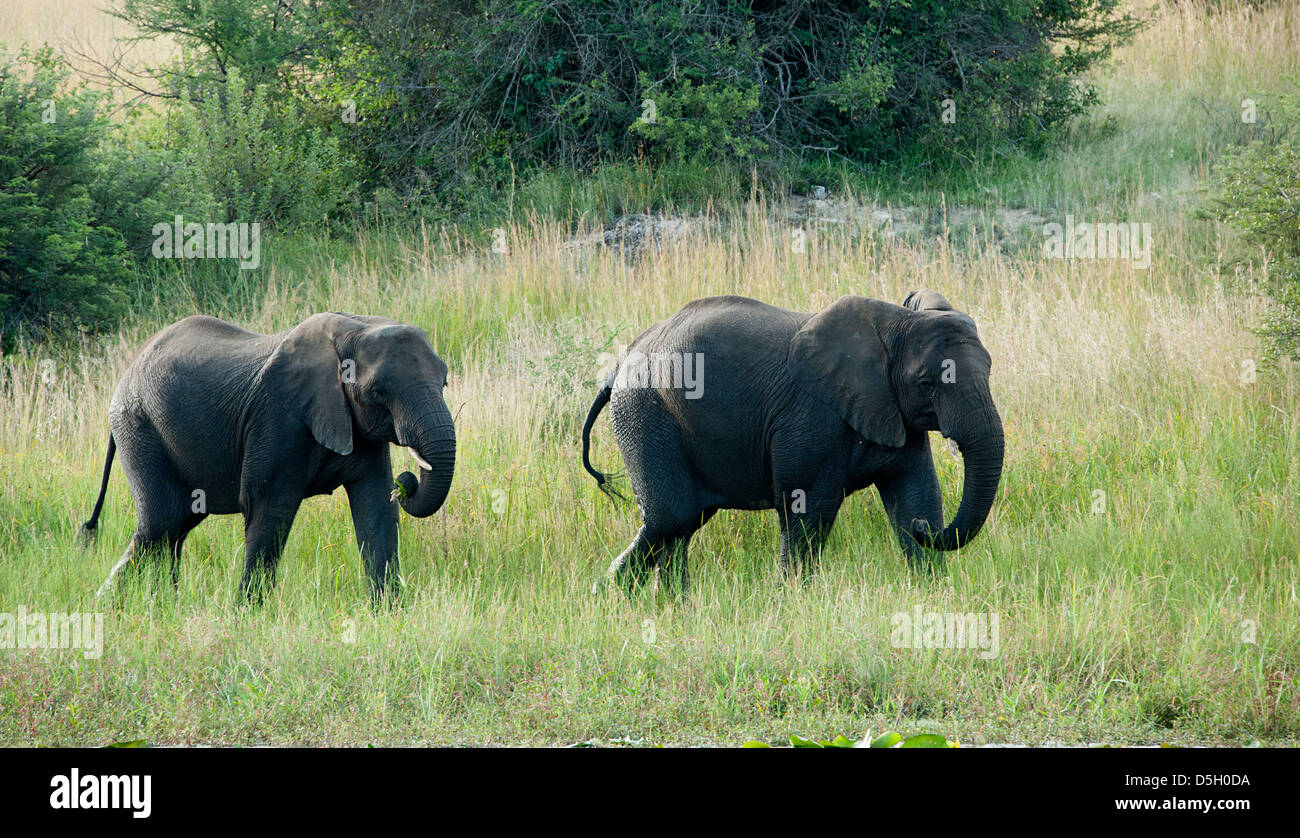 Two African elephants walking in the bush in Antelope Park, Zimbabwe - Stock Image