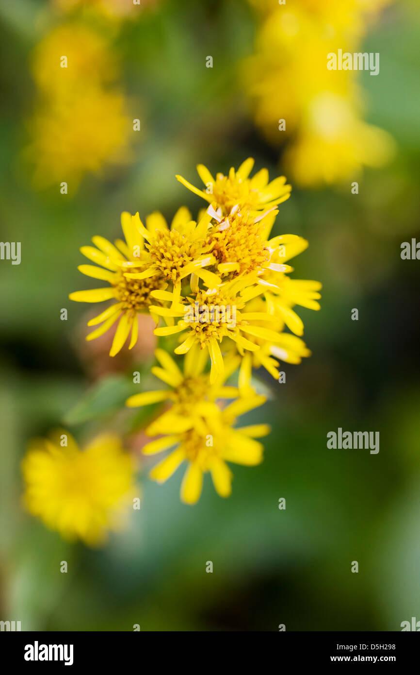 Northern Goldenrod (Solidago multiradiata, aster, asteraceae) Denali National Park, Alaska, USA Stock Photo