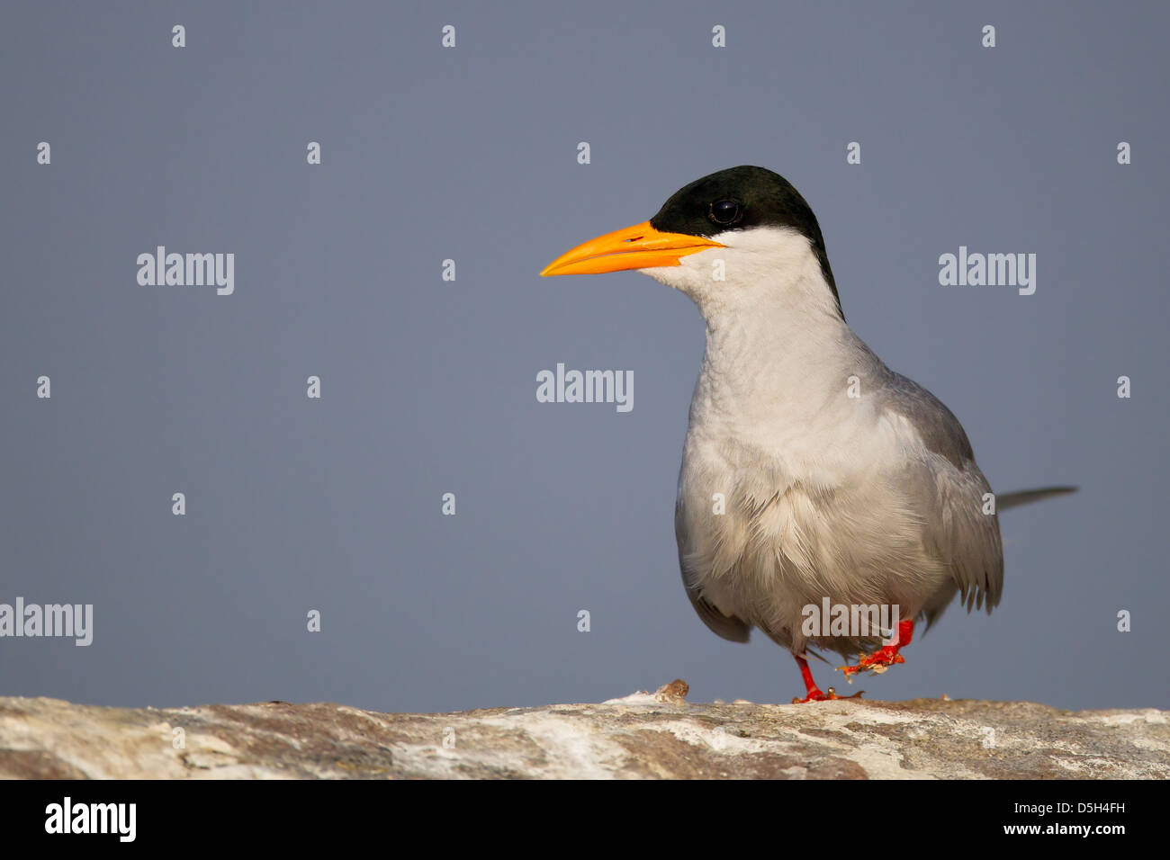 river tern walking on a rock stained white with bird droppings with sky as background - Stock Image
