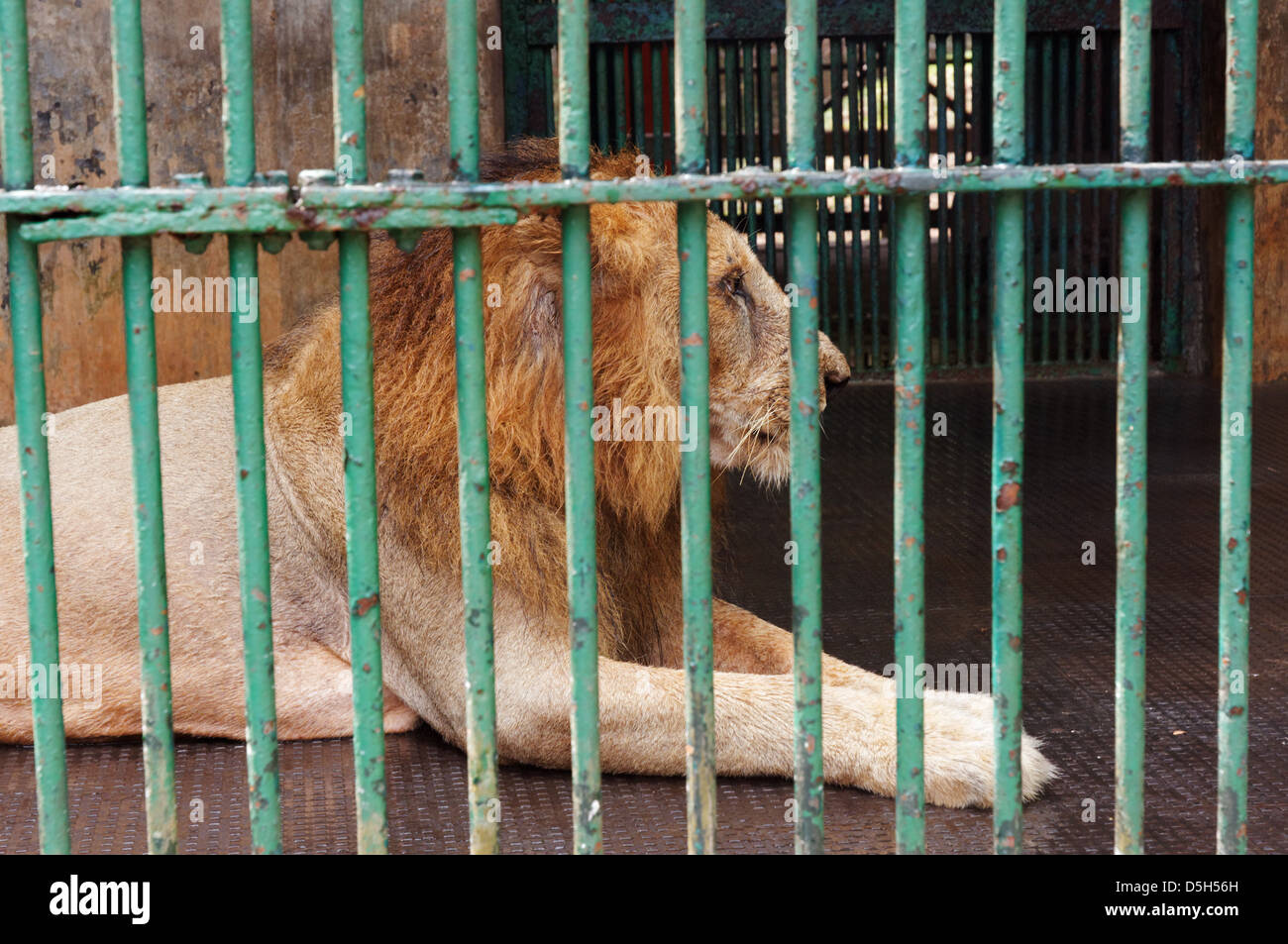 A lion in a horrible cage in Trivandrum zoo, South India - Stock Image